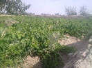 باغ انگور