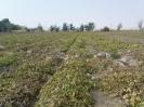 مزرعه طالبی در میلاجرد