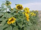 مزرعه آفتاب گردون در تابستان 89 میلاجرد