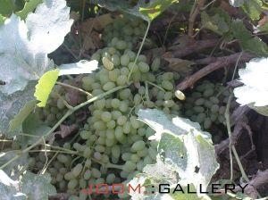 باغ انگور آقا یوسف در تابستان 89