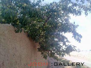 درختهای سیب گلاب میلاجرد
